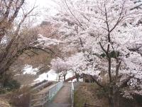 神道山荘前の桜02s.jpg
