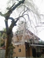 浄法寺の乳母桜2012.5.1.JPG