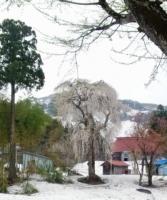 善正寺のシダレザクラ2012.5.1 (1).JPG