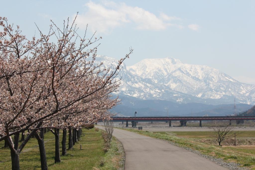 2013.4.14姫川桜